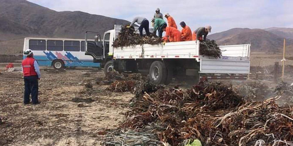 Algas Exportación Chile